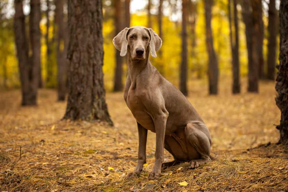weimaraner breed dog sitting in forest